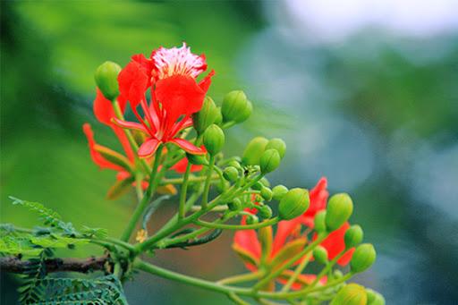 Hoa phượng nở sớm